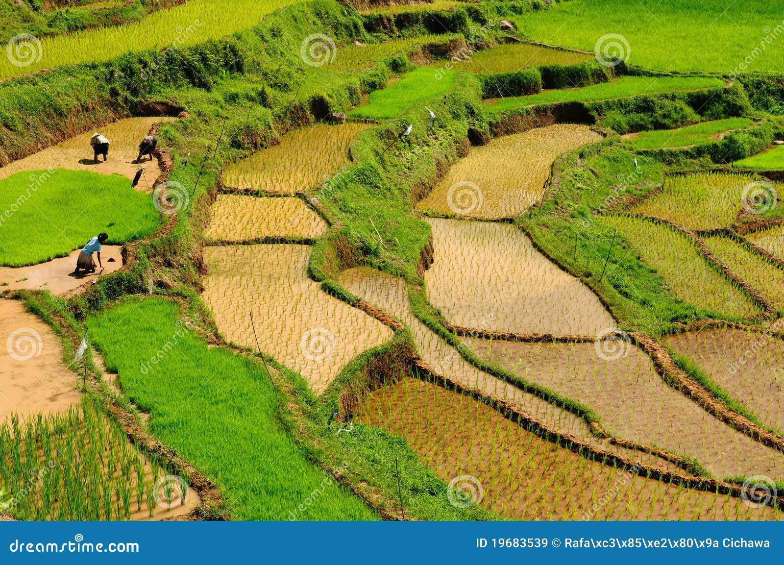 Indonesi sulawesi tana toraja de terrassen van de rijst royalty vrije stock afbeeldingen - Afbeeldingen van terrassen verwachten ...