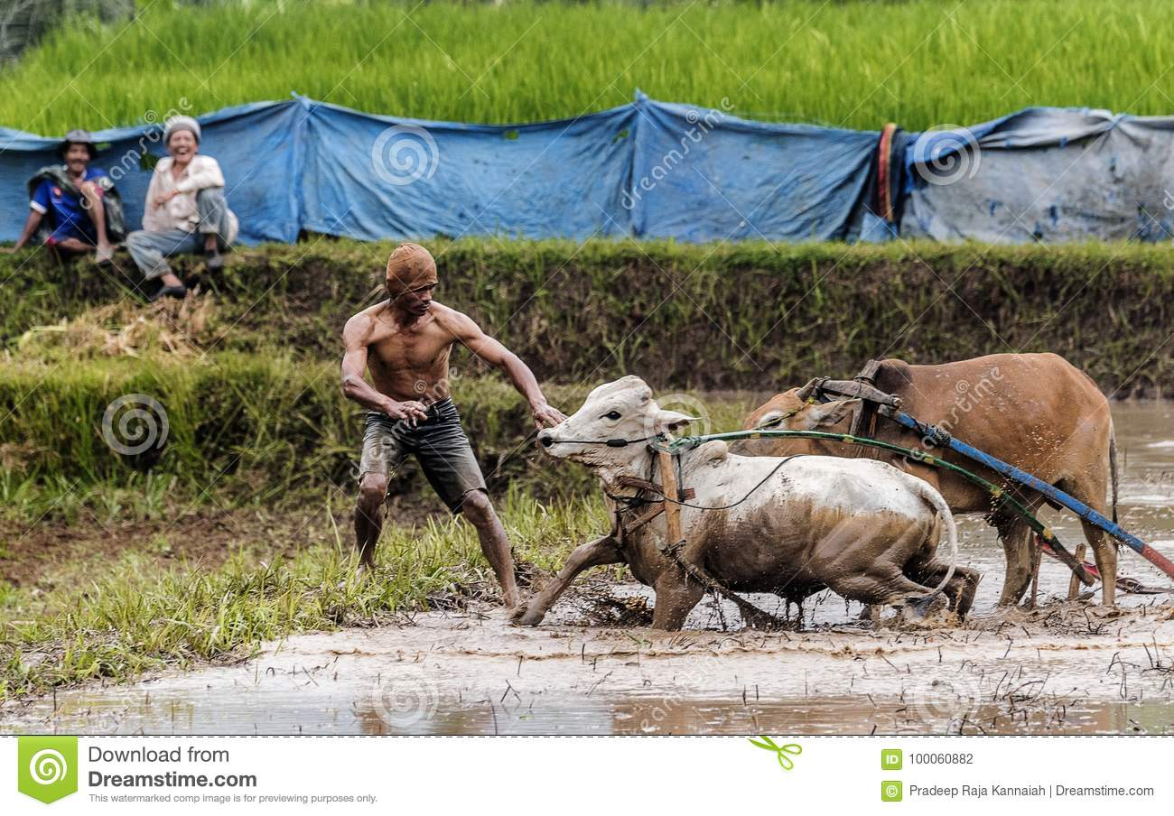 Traditional Bull Racing in Indonesia 96