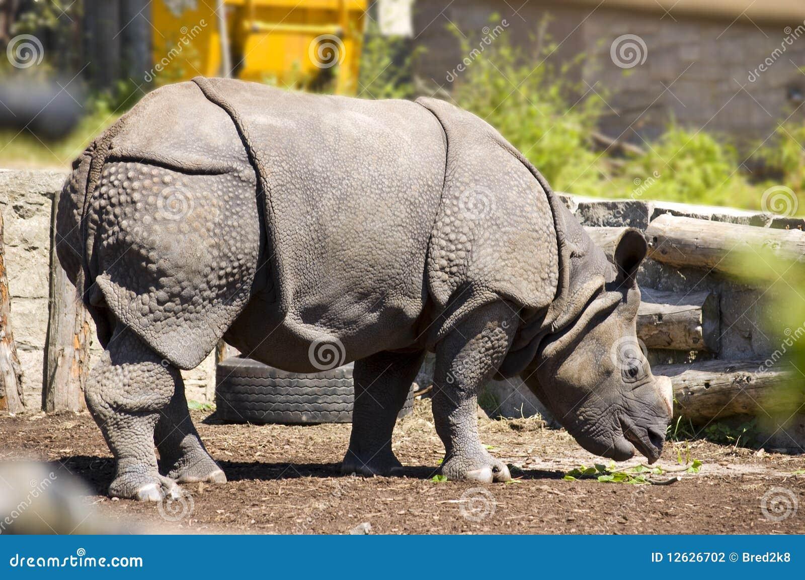 Download Indonesian Rhinoceros/Great One Horned Rhinoceros Stock Photo - Image of zoopark, edinburgh: 12626702