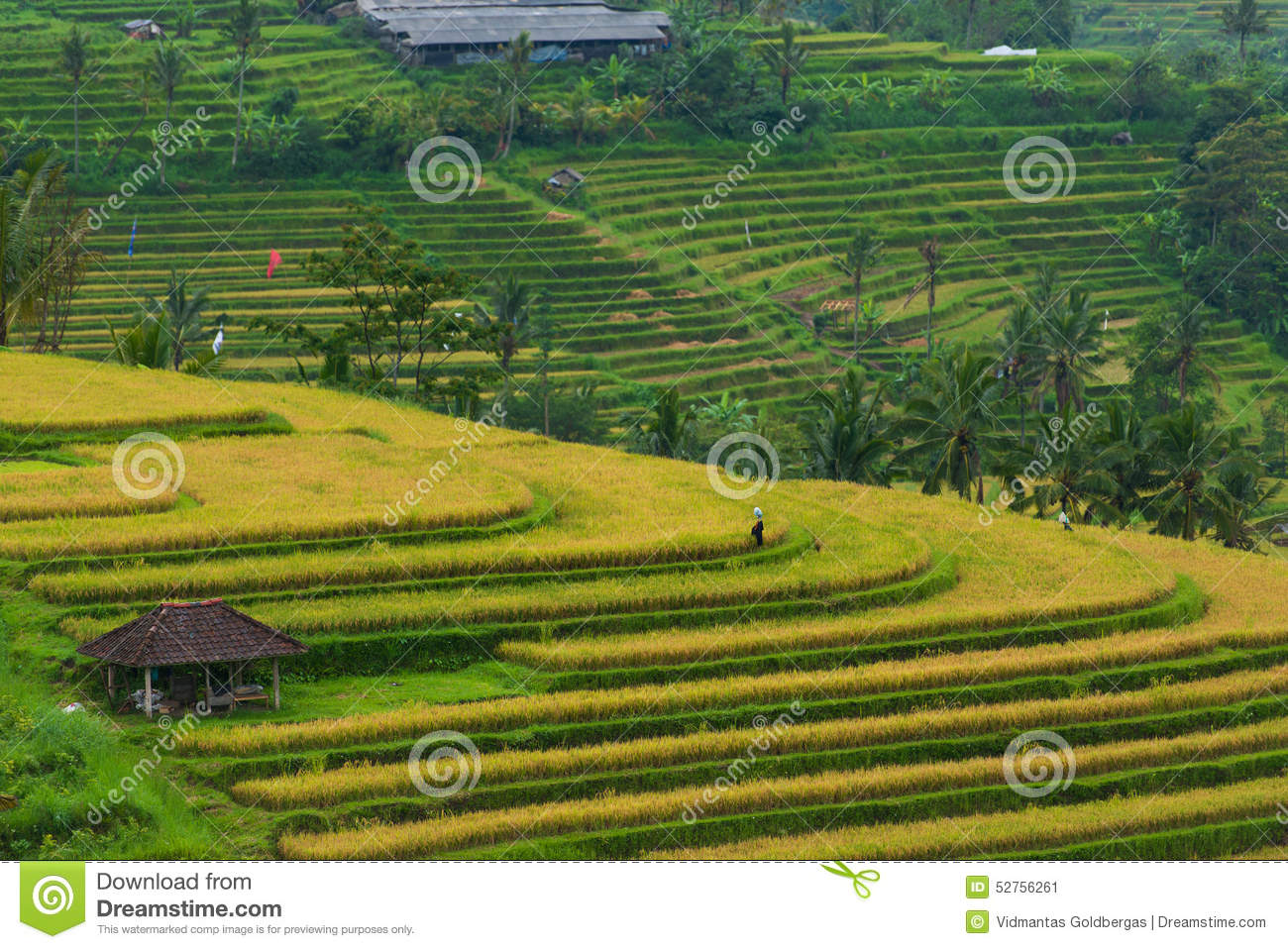 Indonesian rice field.
