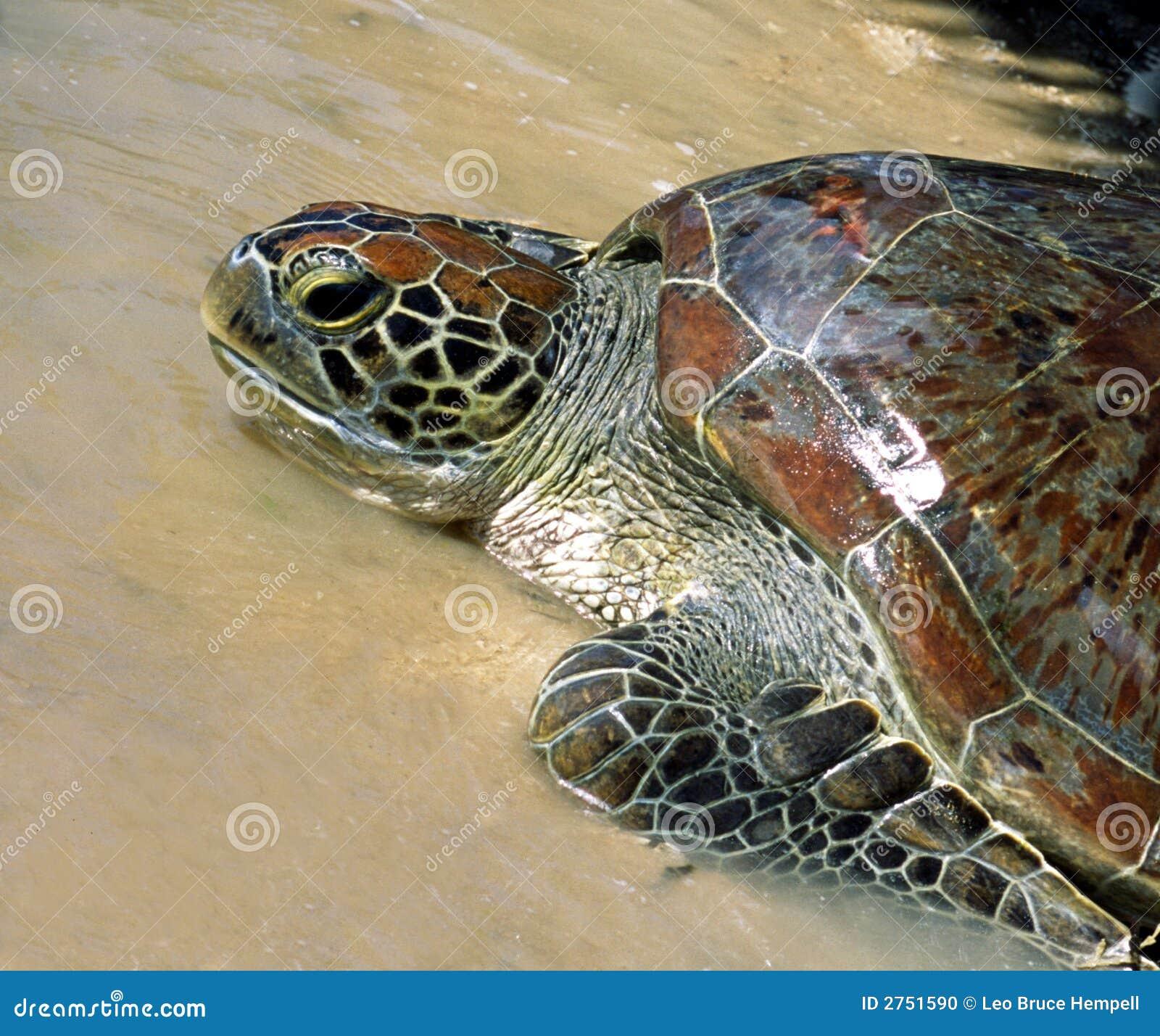 Indonesian Sea Turtle