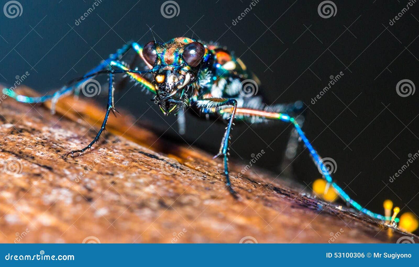 Indonesian Tiger Bug stock photo. Image of java, indonesia - 53100306
