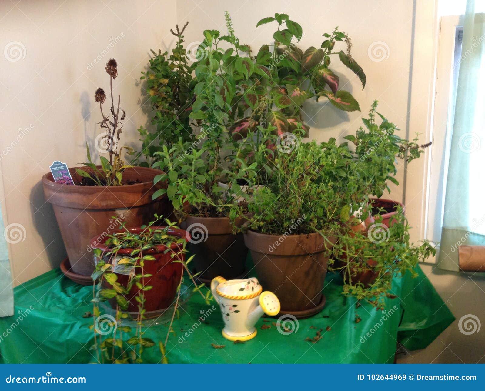 Indoor Herb Garden stock image. Image of indoors, growing - 102644969
