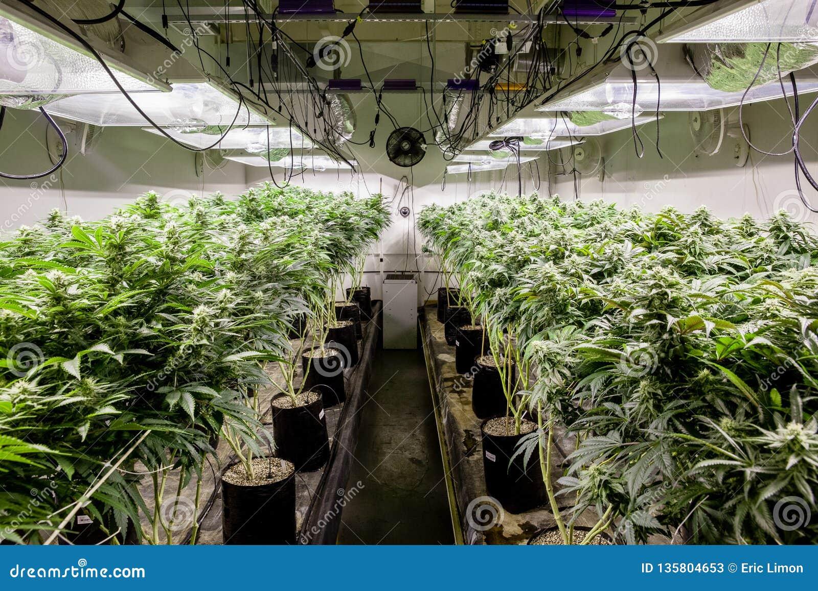 Indoor Marijuana Grow Room Showing Lots Of Plants Stock ...