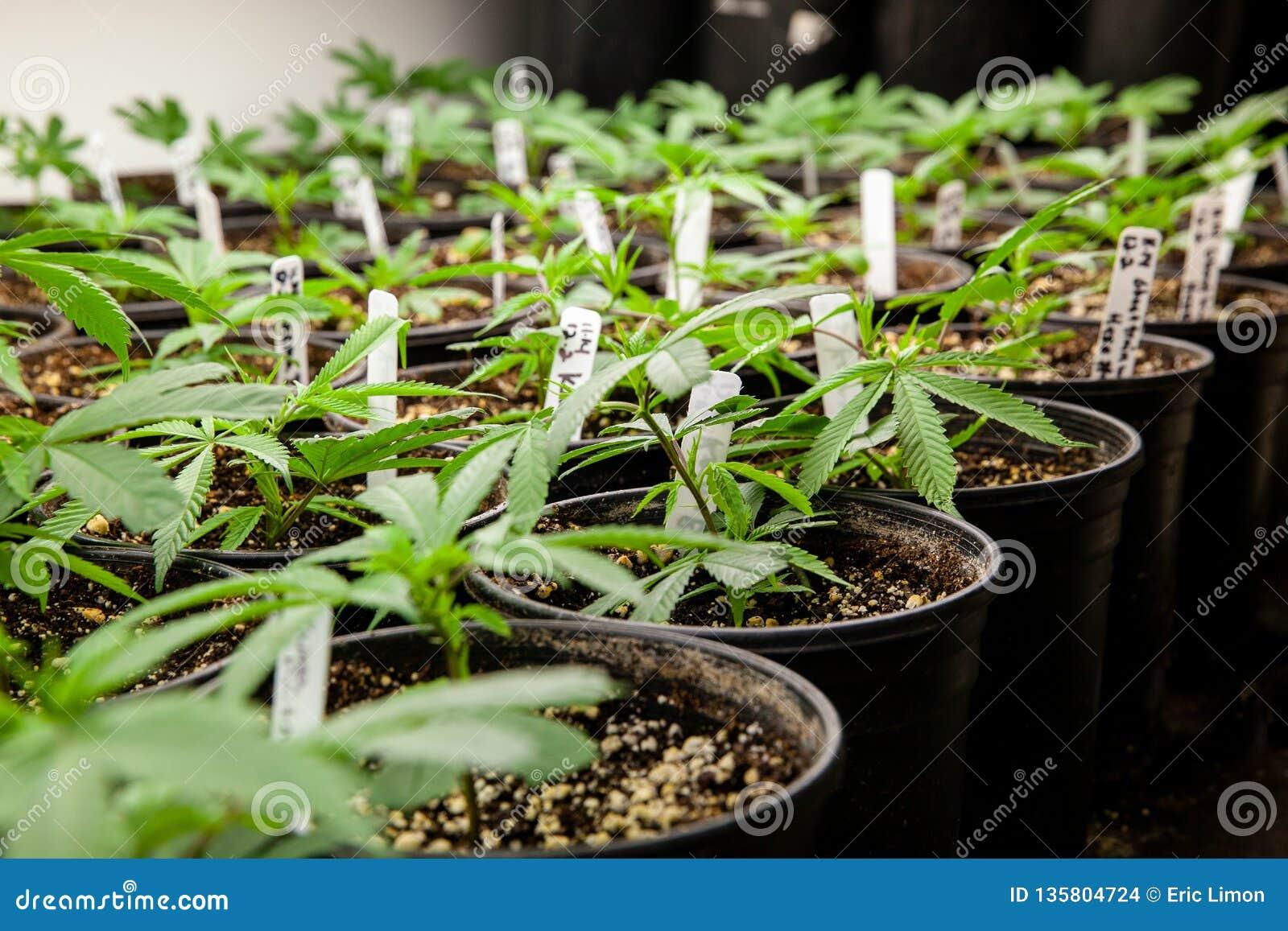 Клоны марихуаны петиции легализации конопли