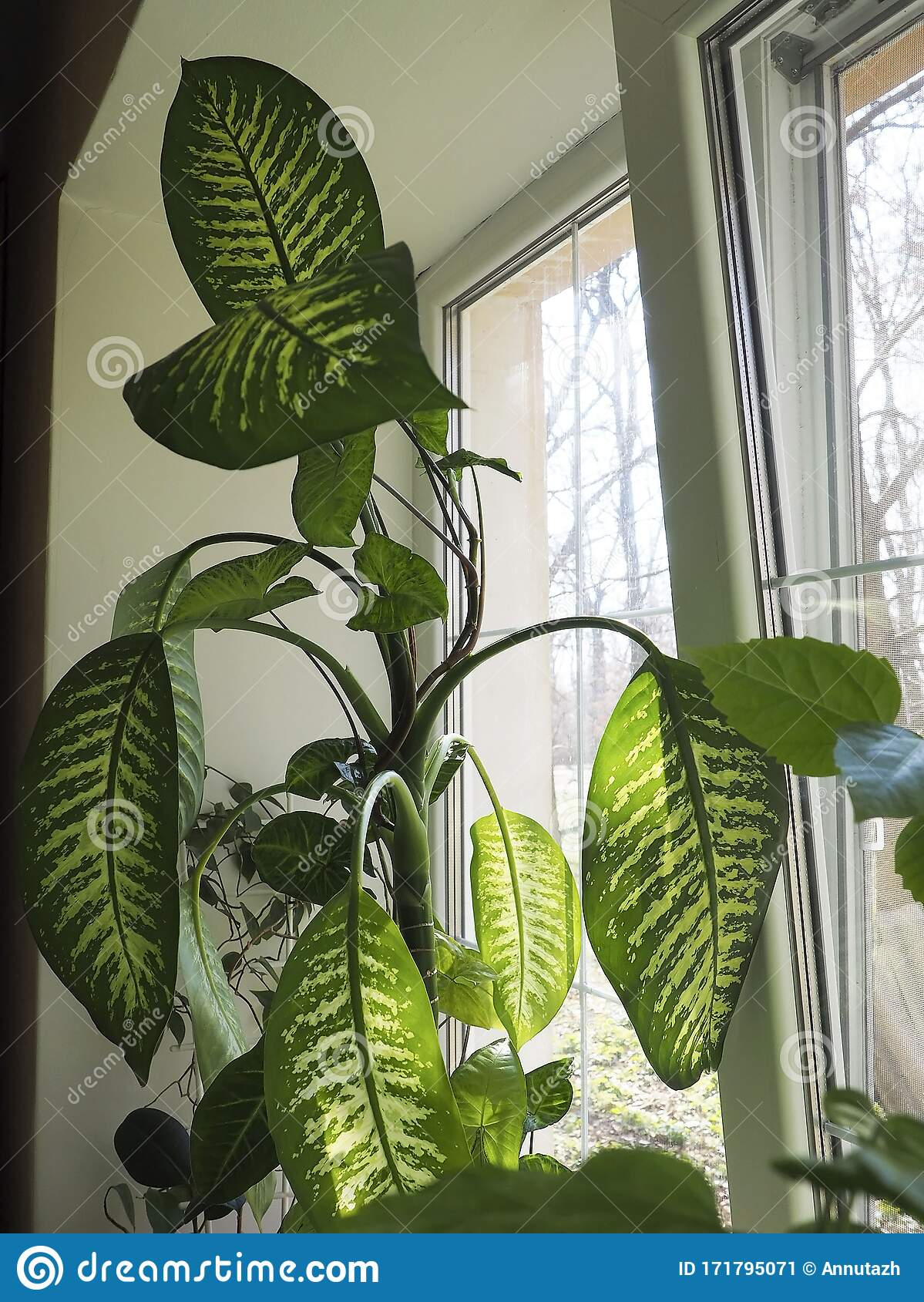 Indoor Plants With Large Leaves Of The Window Stock Image Image Of Decor Urban 171795071