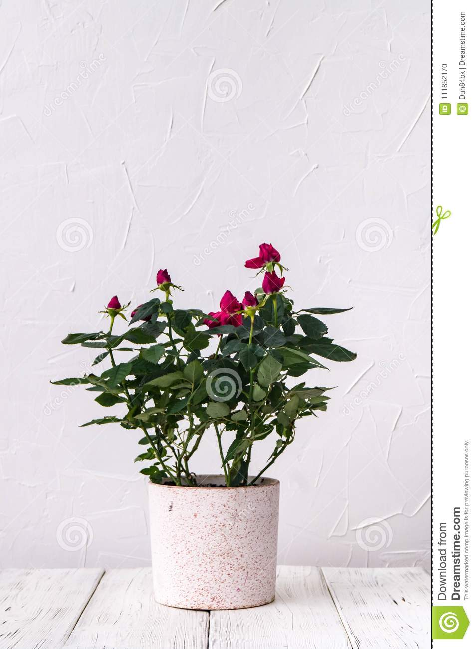 Indoor Plants A Red Rose In A Pot Against A White Wall Background