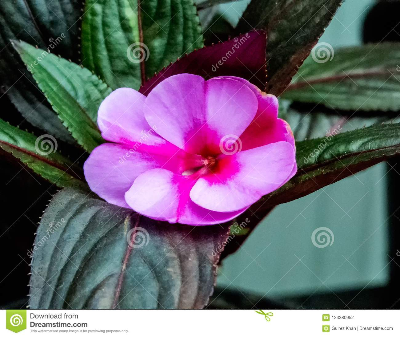 Indoor Plants, two shaded Pink Flower