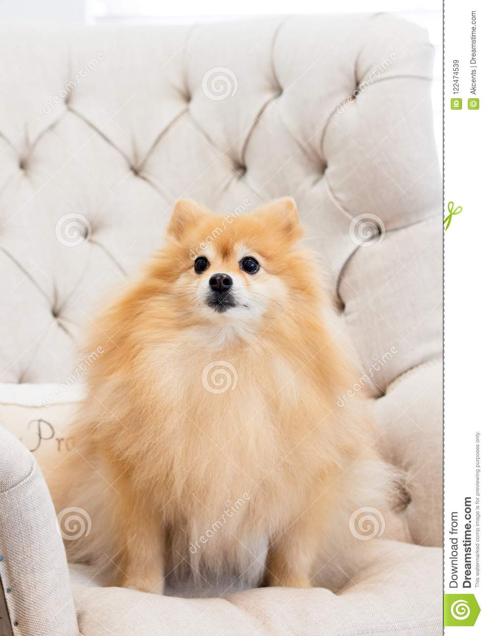 Fluffy Pomeranian Dog Sitting In His Favorite Spot On The Wingback