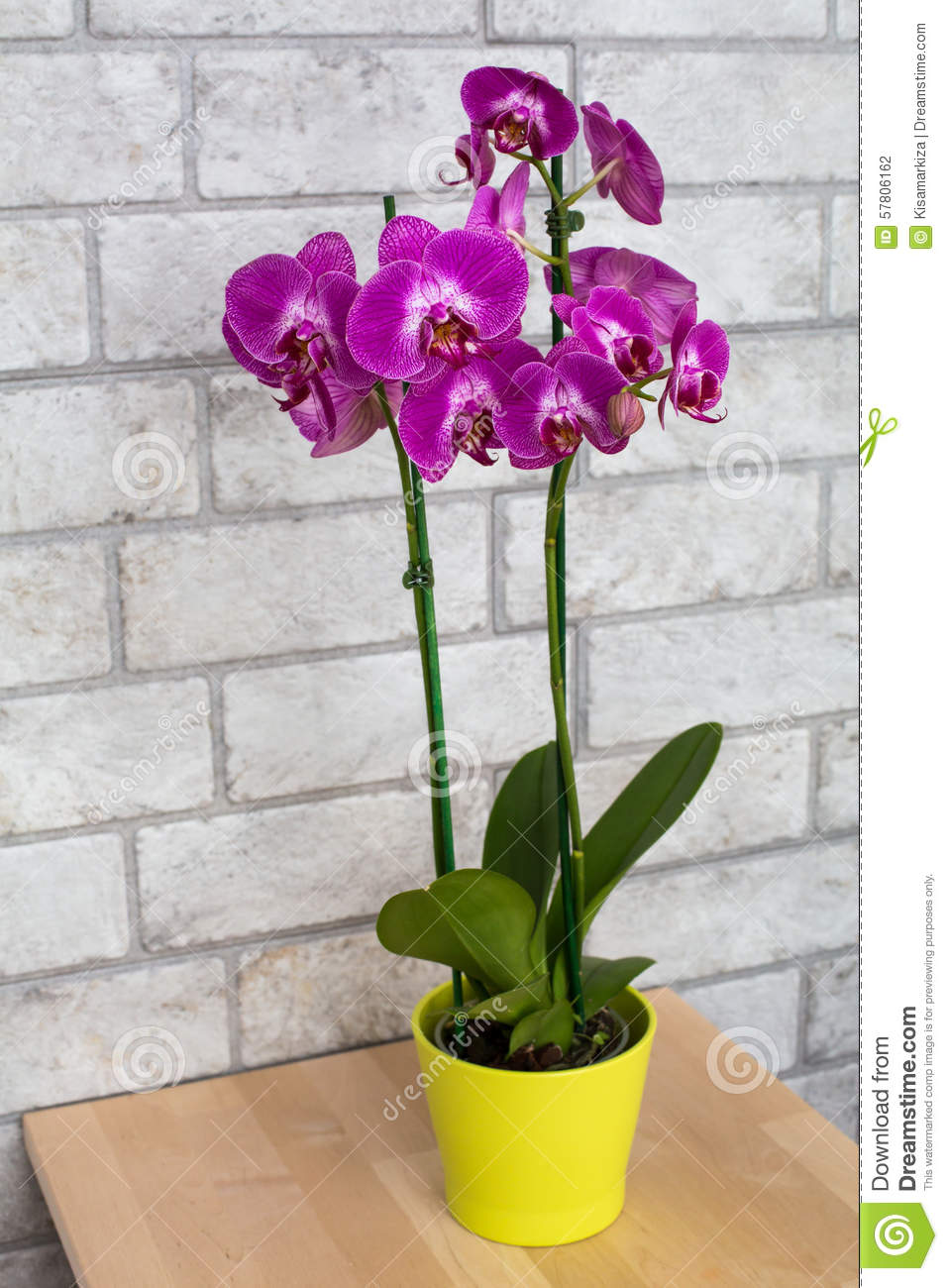indoor purple orchid in the flower pot stock photo image