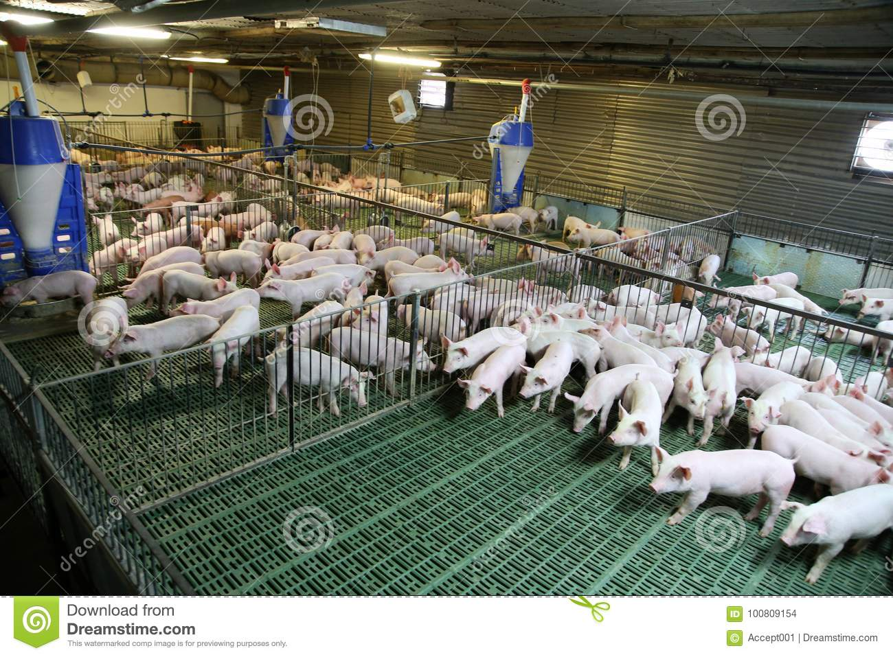 Industrial Pig Farm For Breeding Little Hogs Stock Photo
