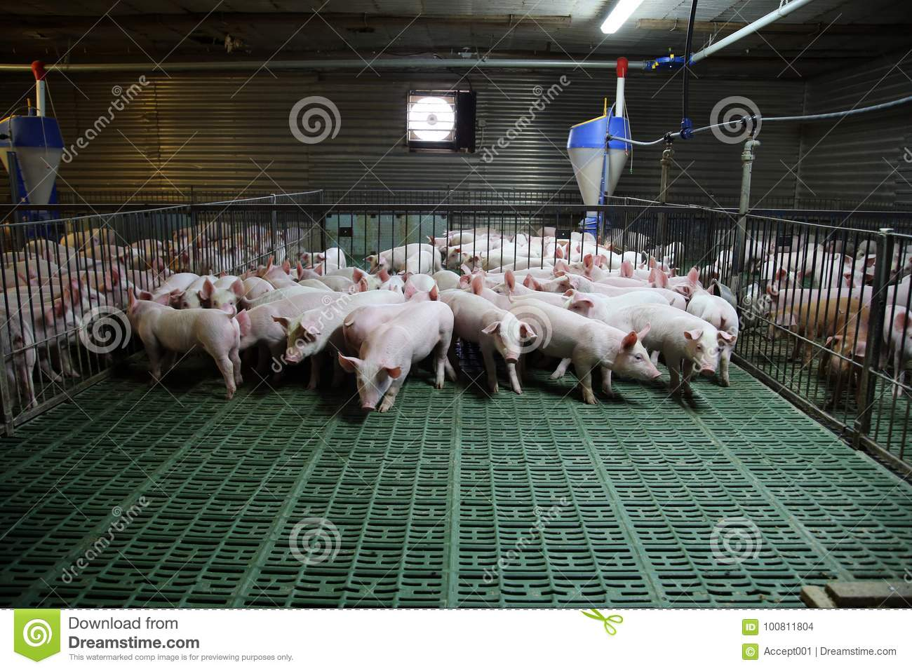Young Domestic Breed Piglets Growing On Modern Animal Farm Stock