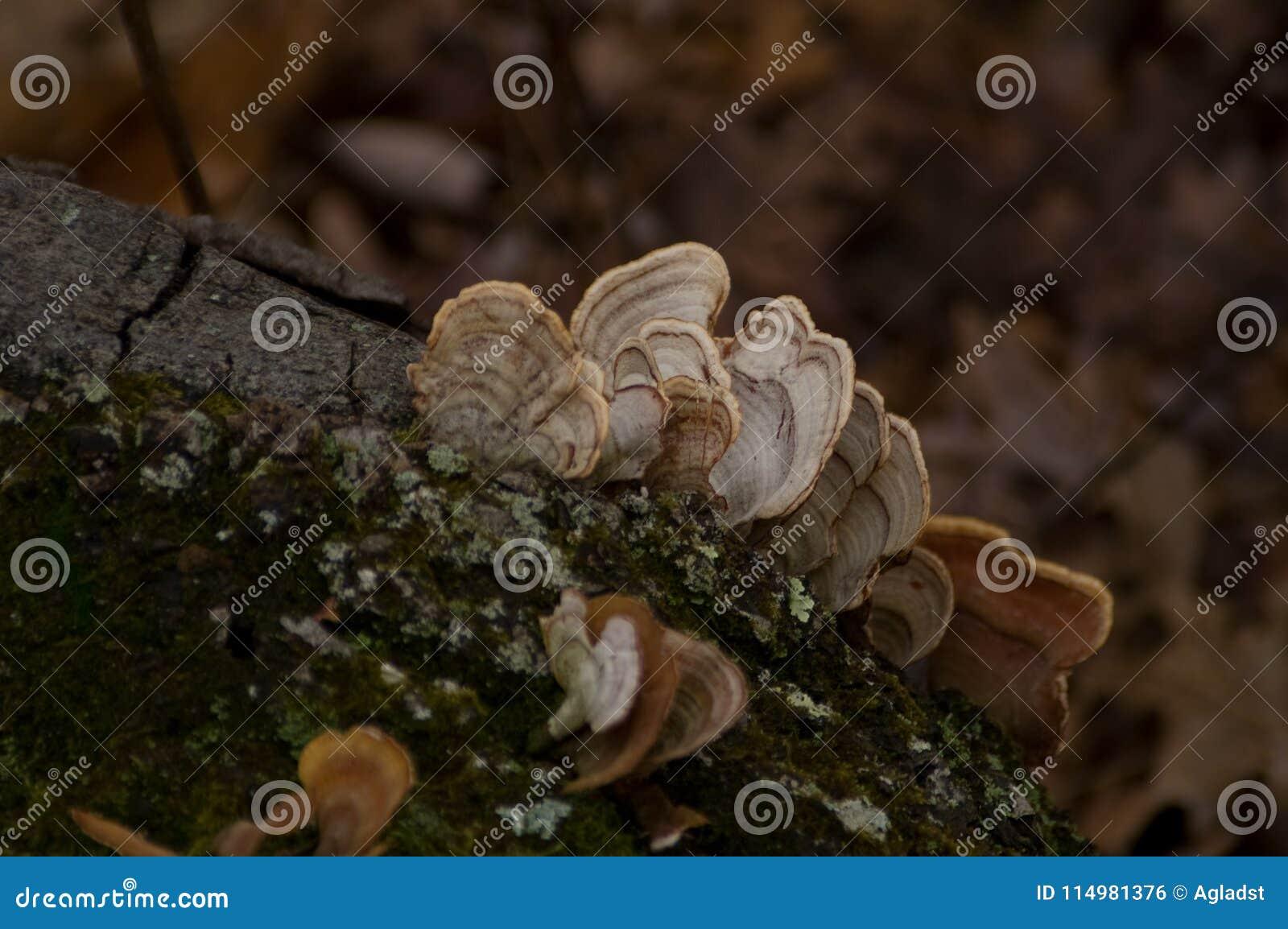 Indyczy ogon Grzybowy Trametes Versicolor na drzewie