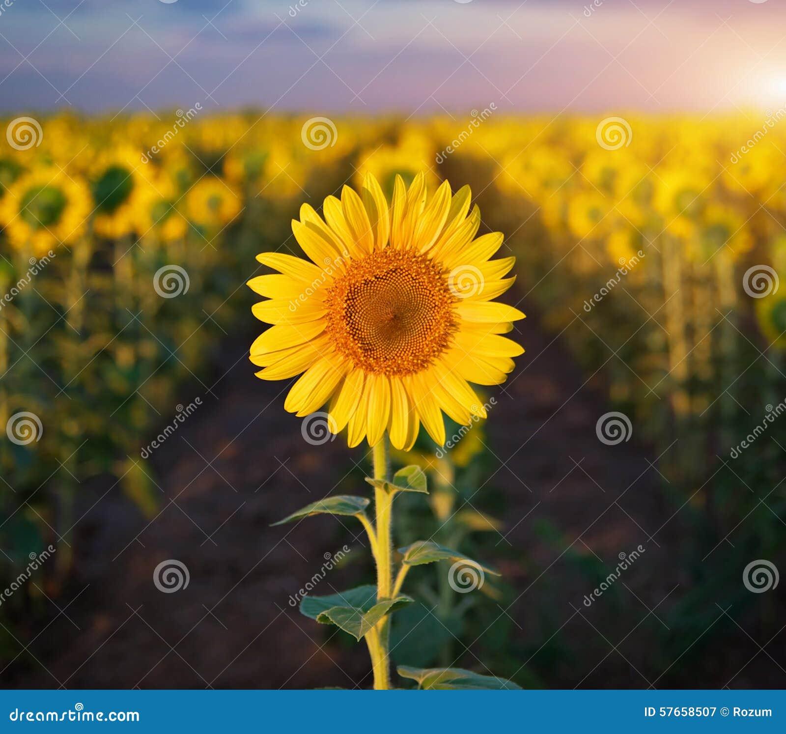 Indywidualny słonecznik