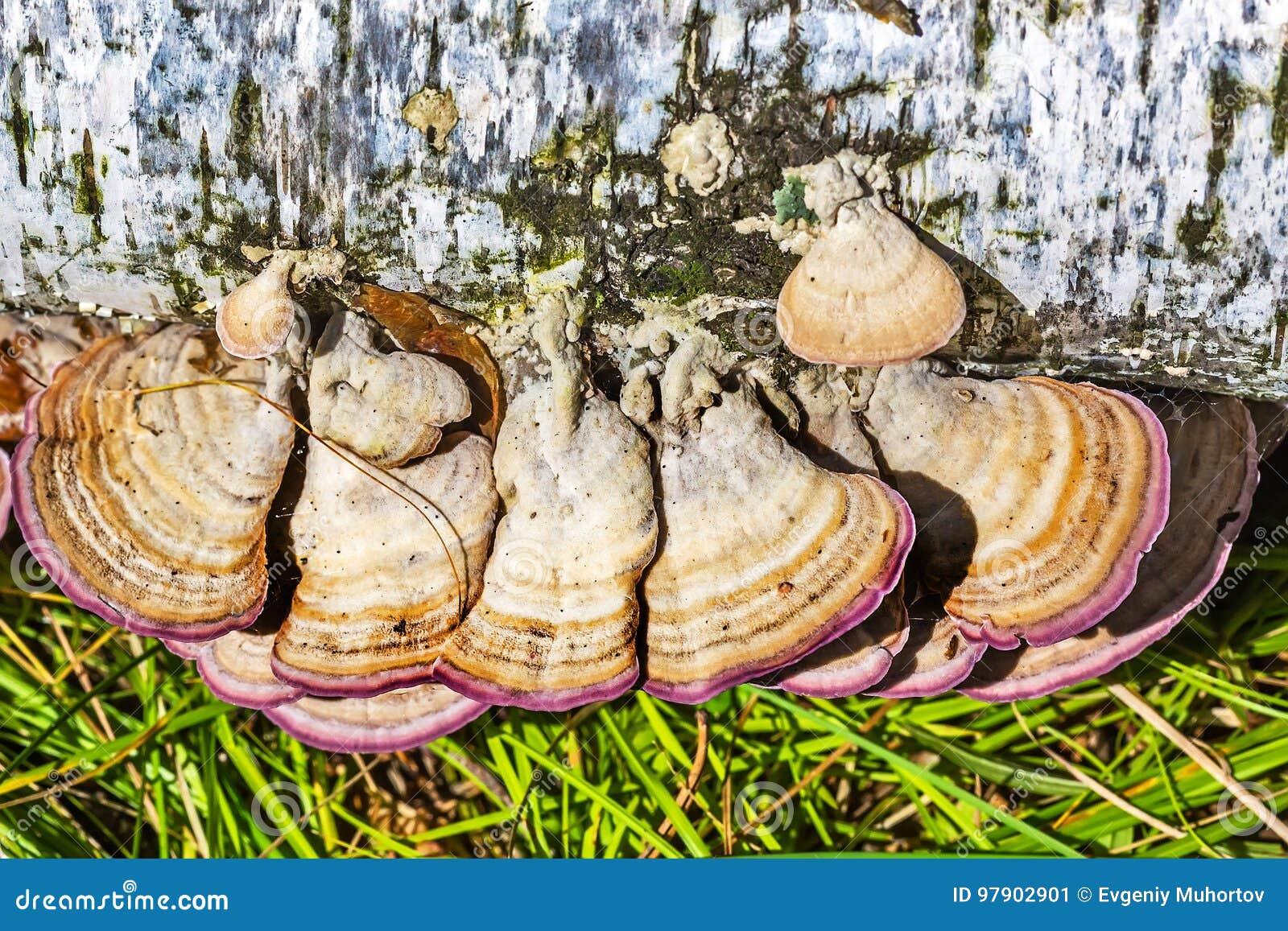 Inedible mushroom or colored Polypore Coriolus versicolor lat.