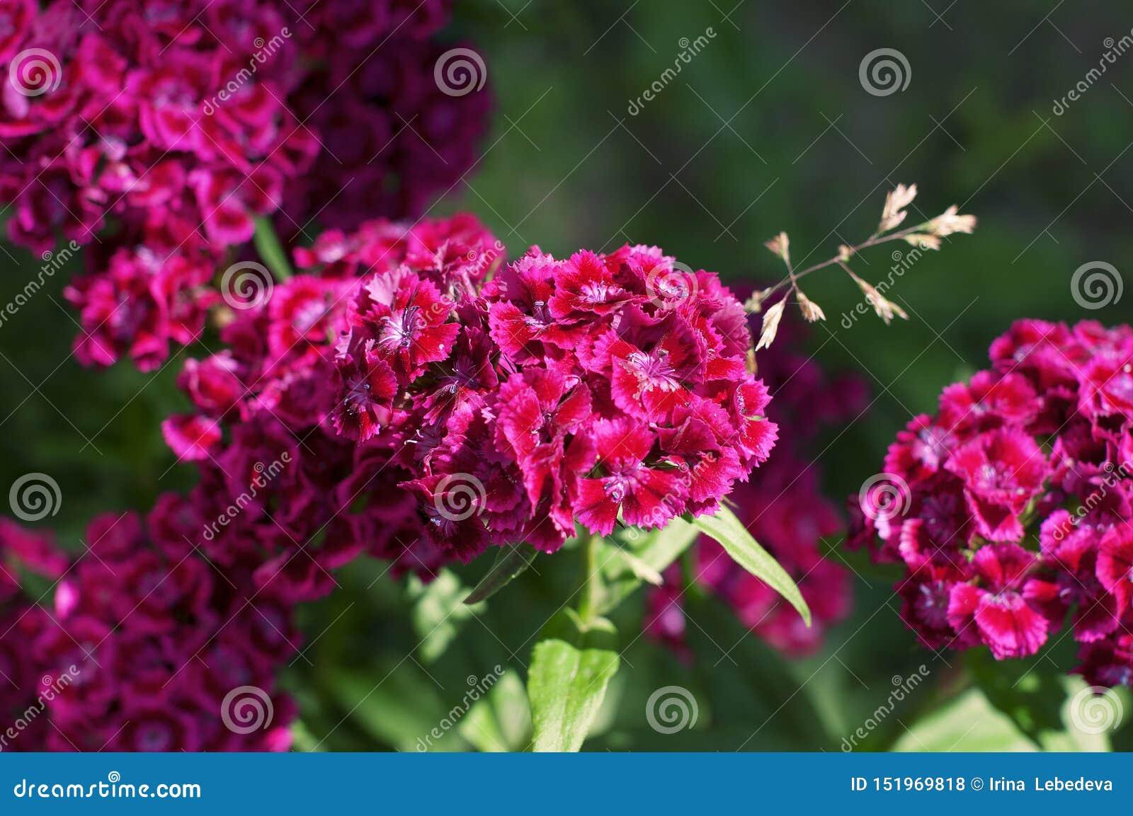 Inflorescência de diversas flores roxas do jardim - cravos