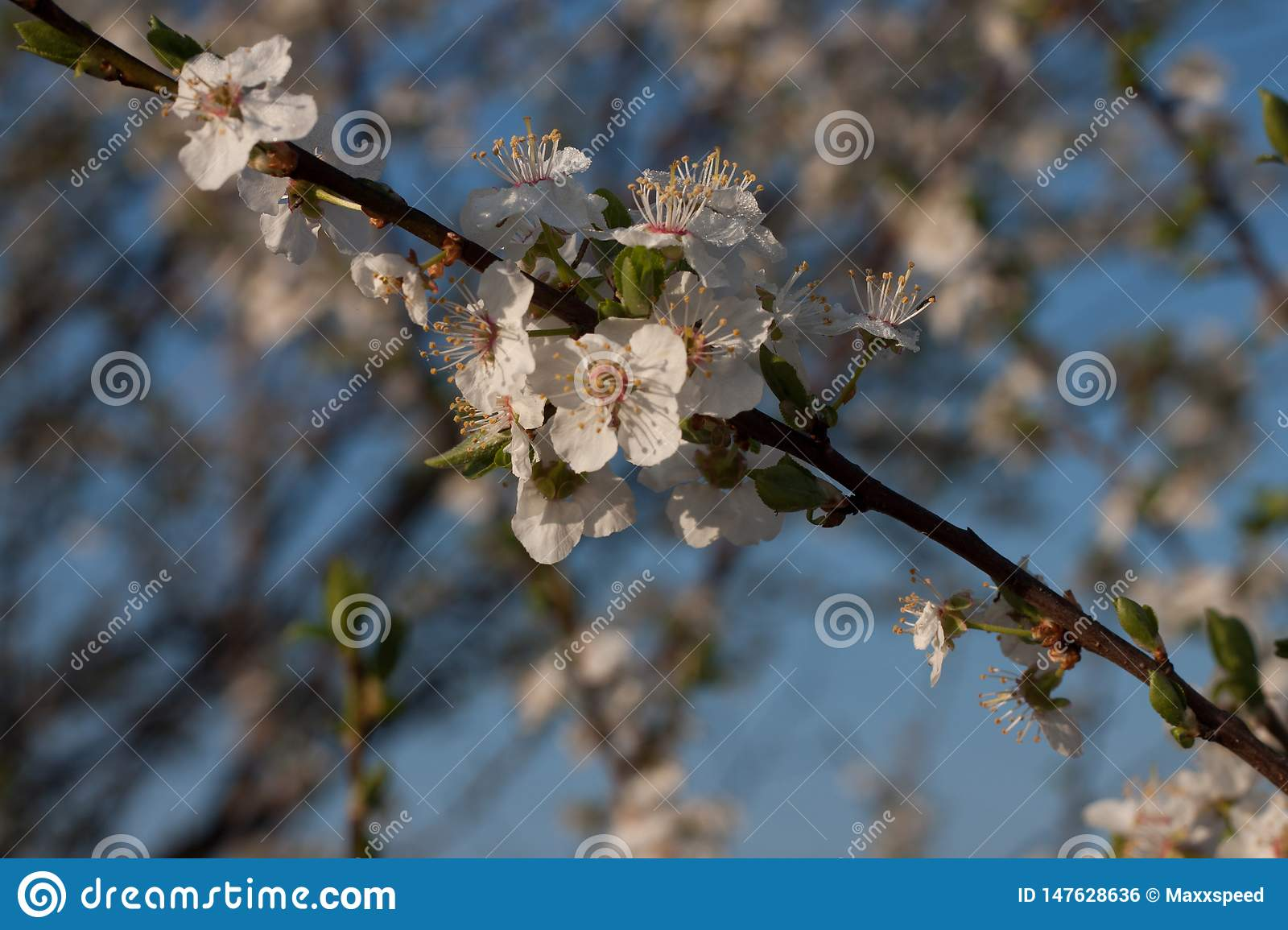 Inflorescence of an apple