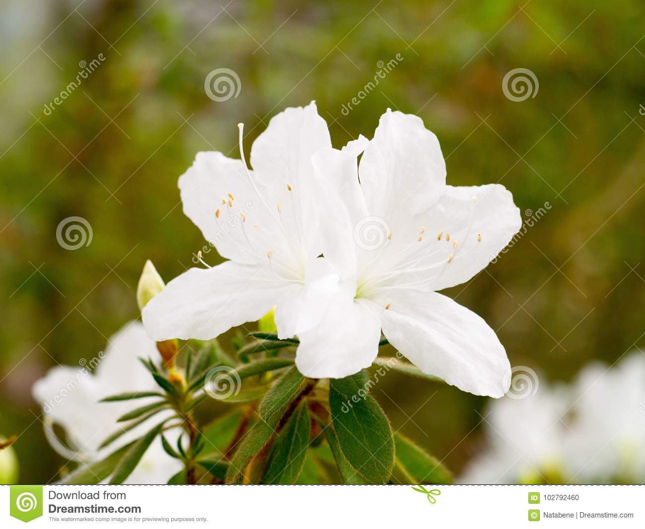 Inflorescence A Lovely White Flower Of A Rhododendron Stock Photo
