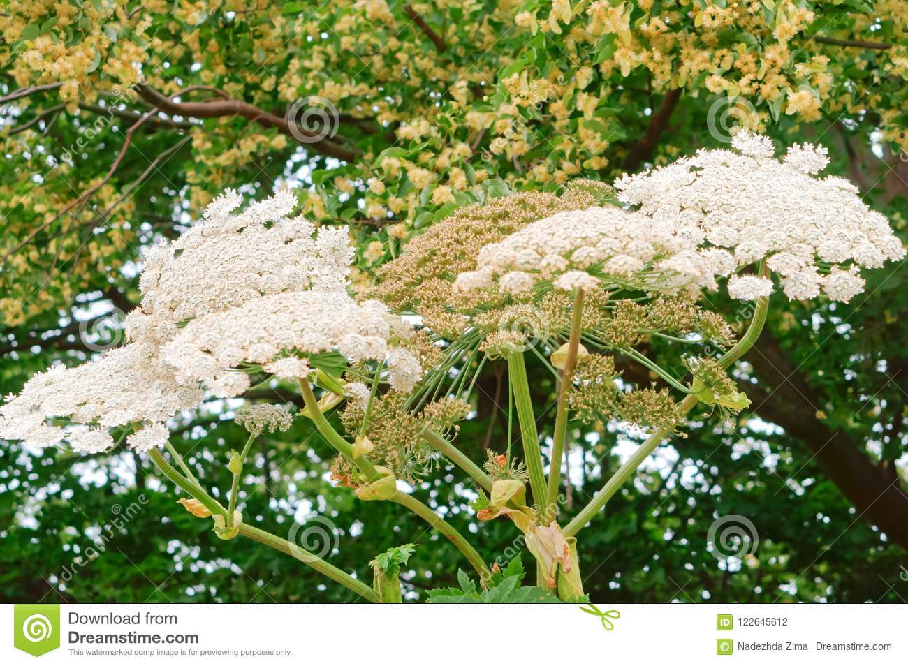 Hogweed a poisonous plant threat inflorescence of white flowers of download hogweed a poisonous plant threat inflorescence of white flowers of the cow parsnip mightylinksfo