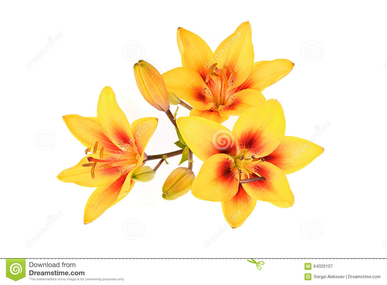 Inflorescence yellow lily latin name lilium stock image image download inflorescence yellow lily latin name lilium stock image image of mightylinksfo