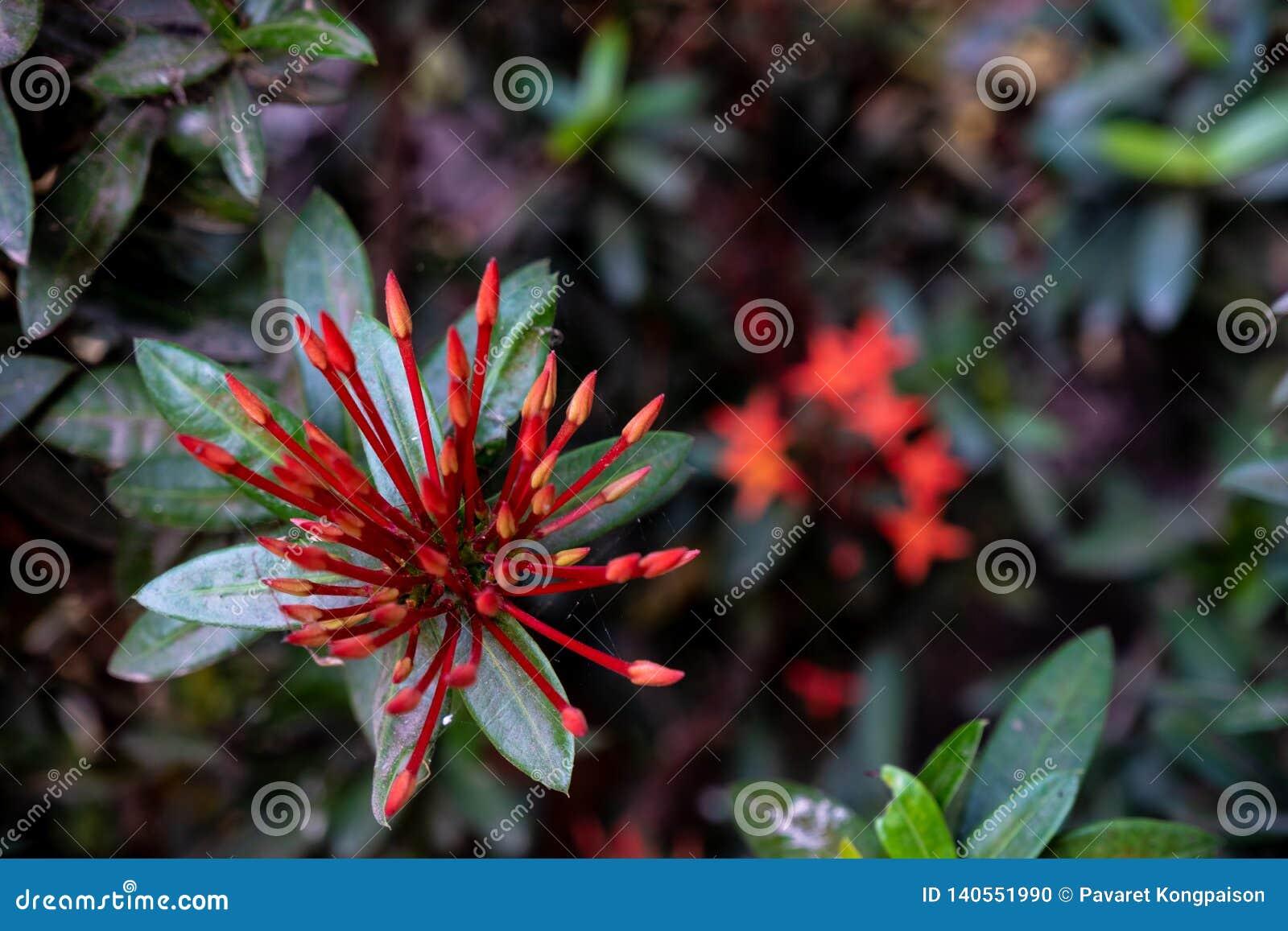 Inflorescences rouges d aiguille dans le jardin
