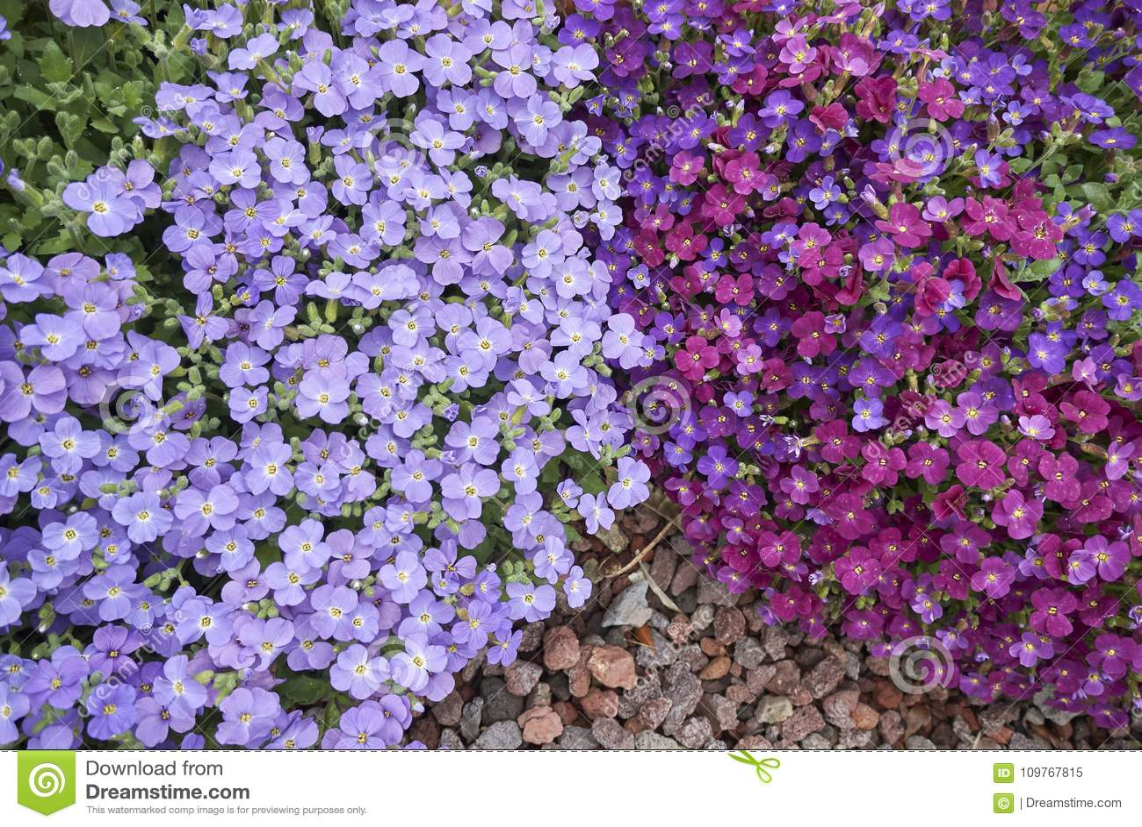 Inflorescencia azul púrpura de Aubrieta