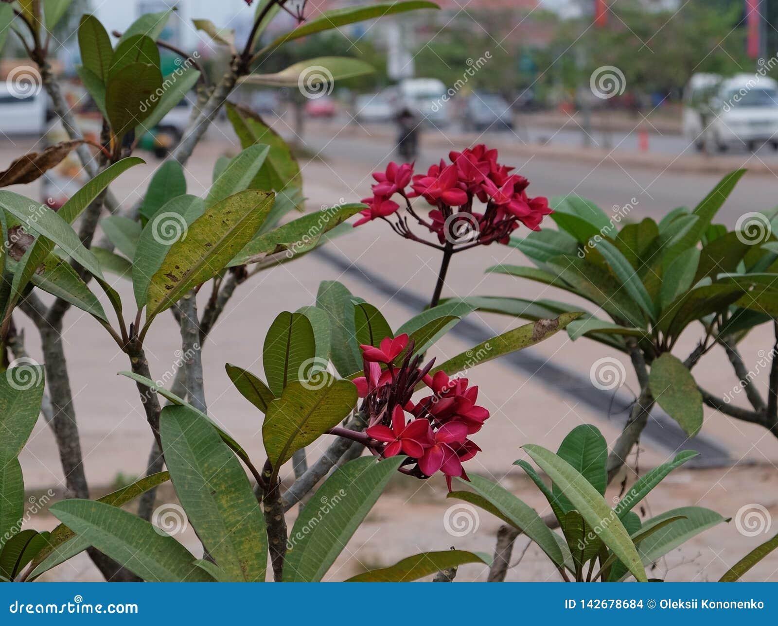 Inflorescencia de flores hermosas con los pétalos rosados, brotes rosados, follaje verde