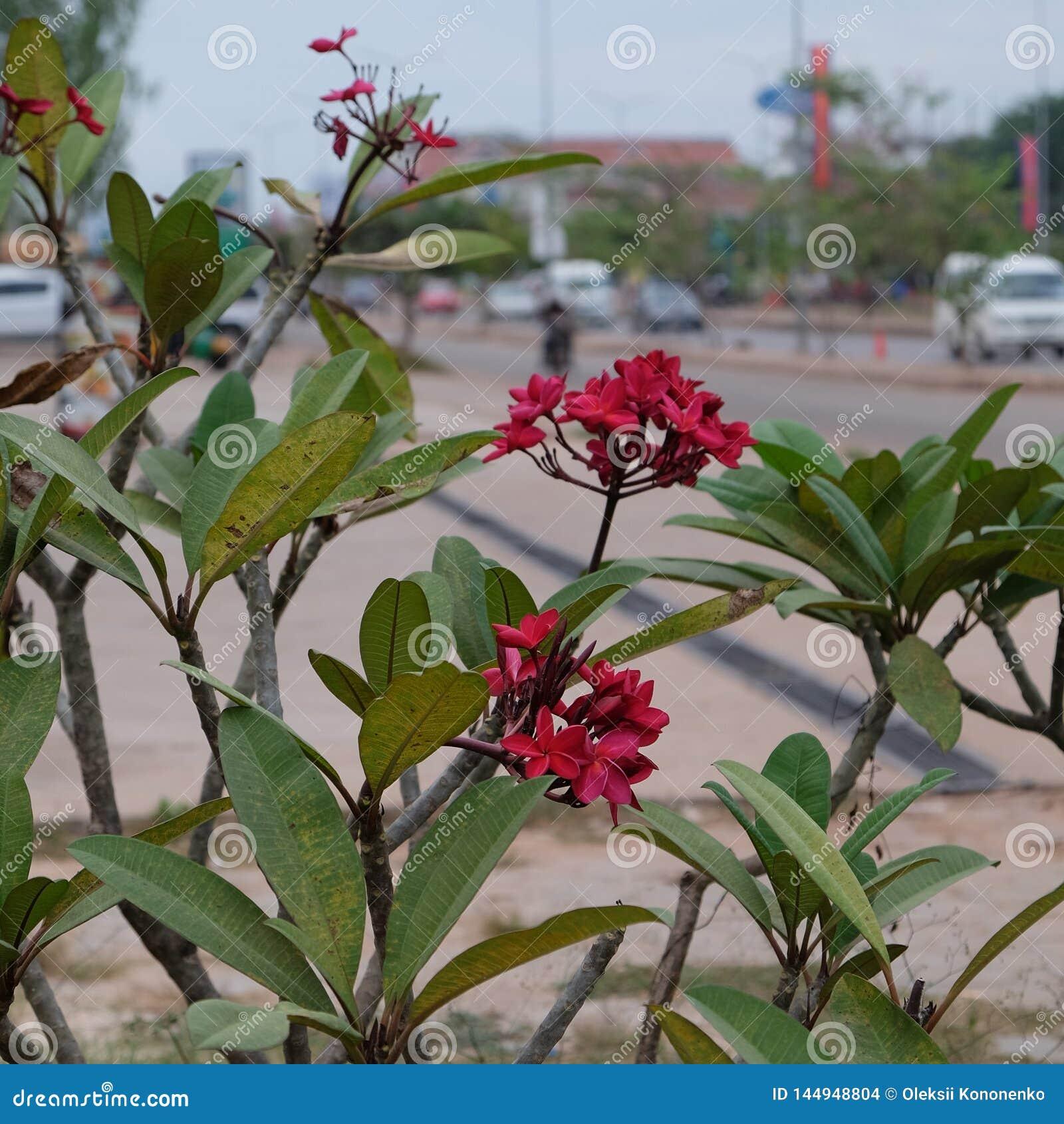 Inflorescencia de flores hermosas con los p?talos rosados, brotes rosados, follaje verde