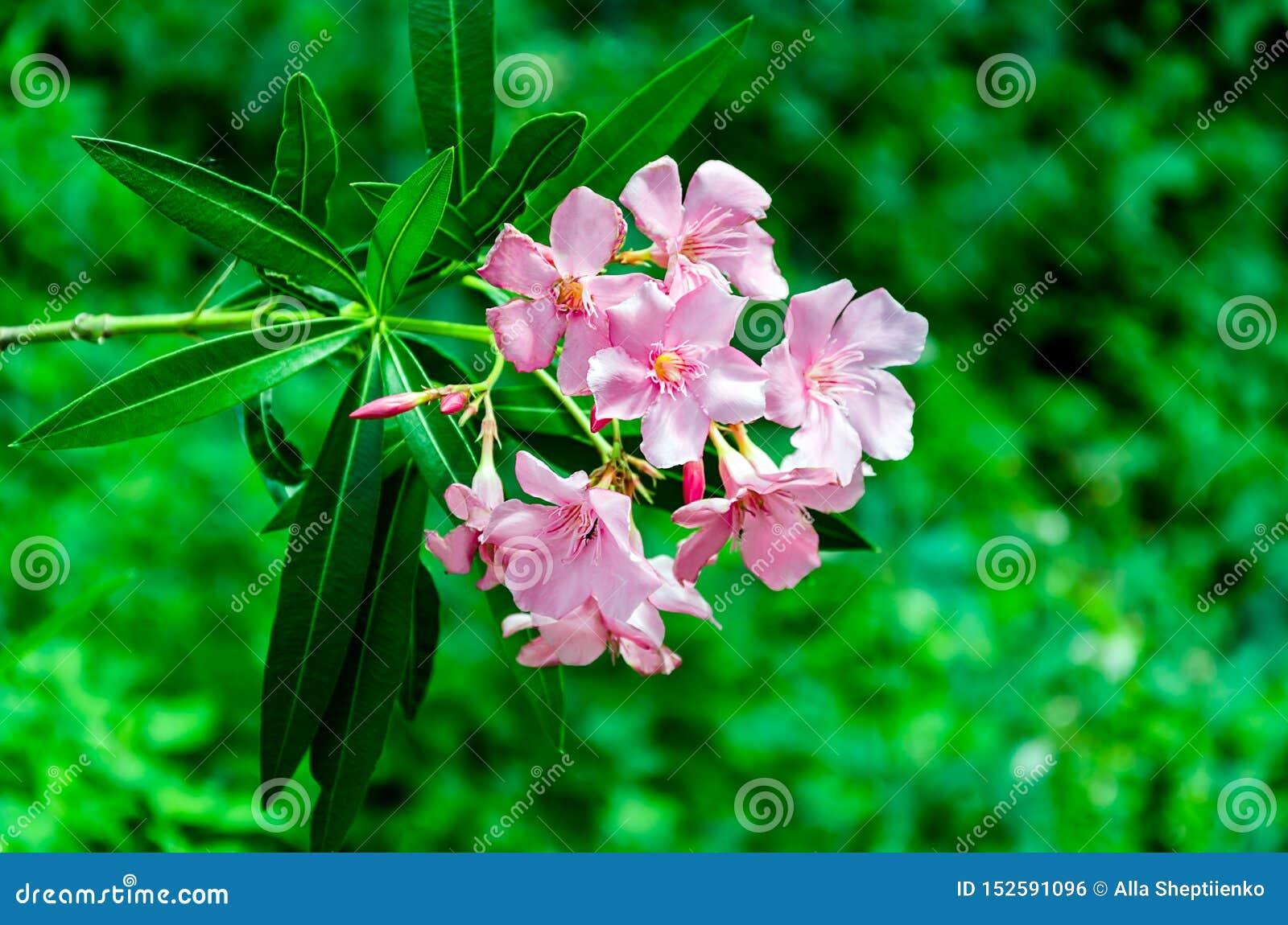 Inflorescencia de flores rosadas en el jardín del verano