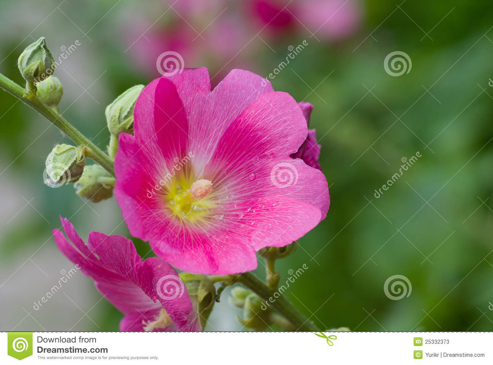 Inflorescencia de la flor del Malva
