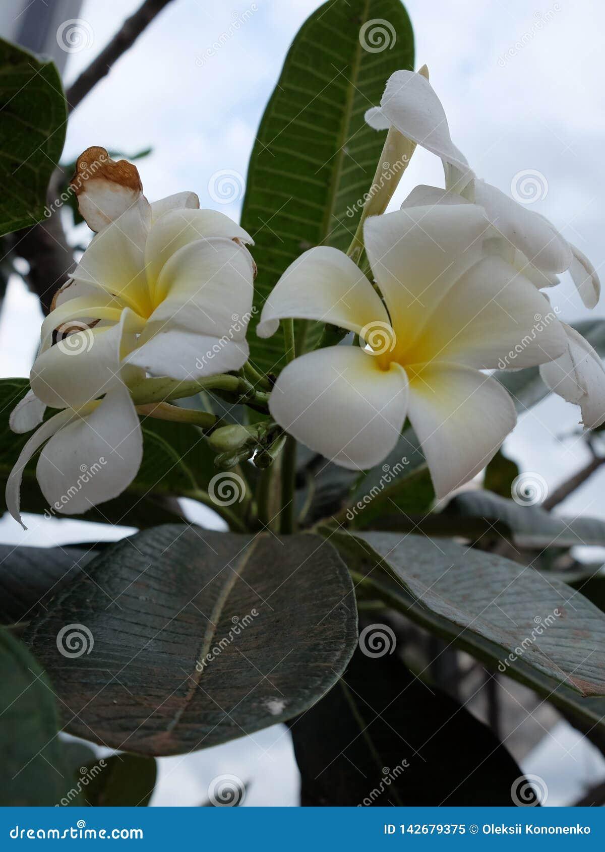 Inflorescencia de las flores blancas, pétalos blancos