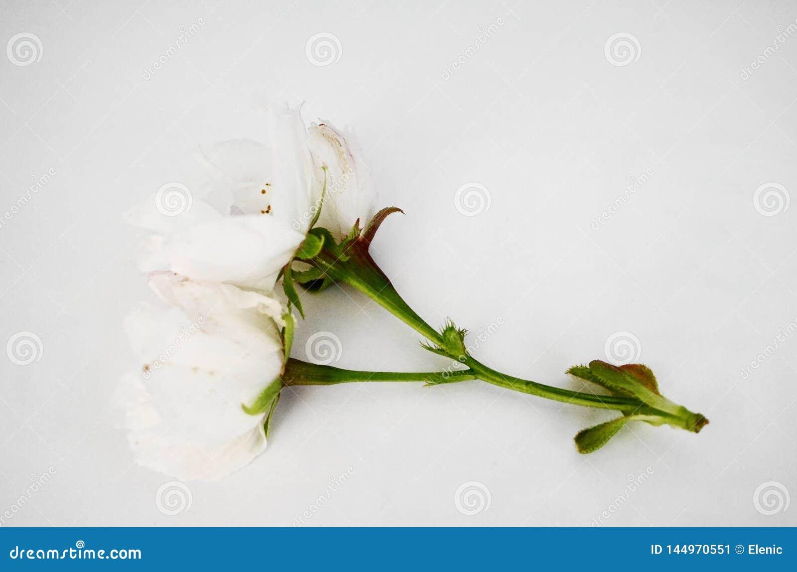 Inflorescencia de las flores japonesas blancas de la cereza en el fondo blanco