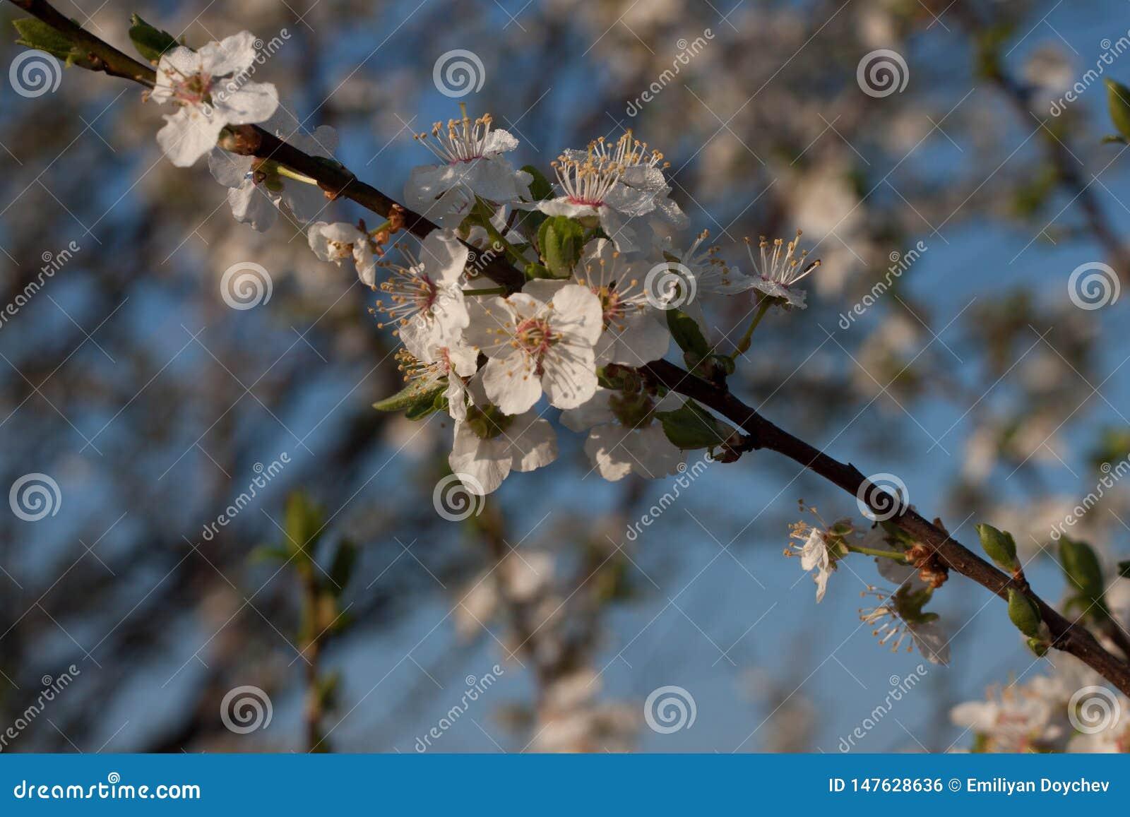 Inflorescencia de una manzana