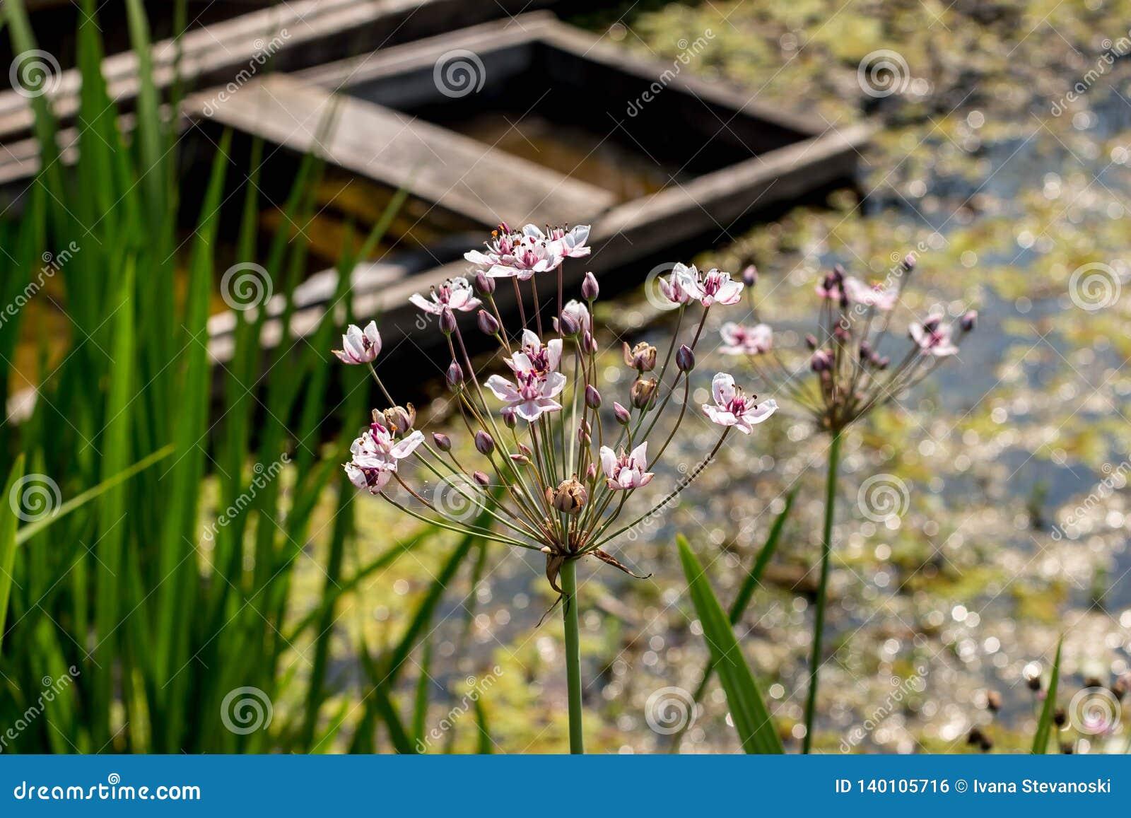 Inflorescencia del umbellatus de Butmous - precipitación de florecimiento