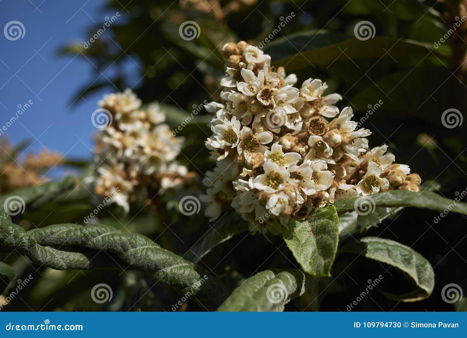Inflorescencia perfumada del japonica del Eriobotrya