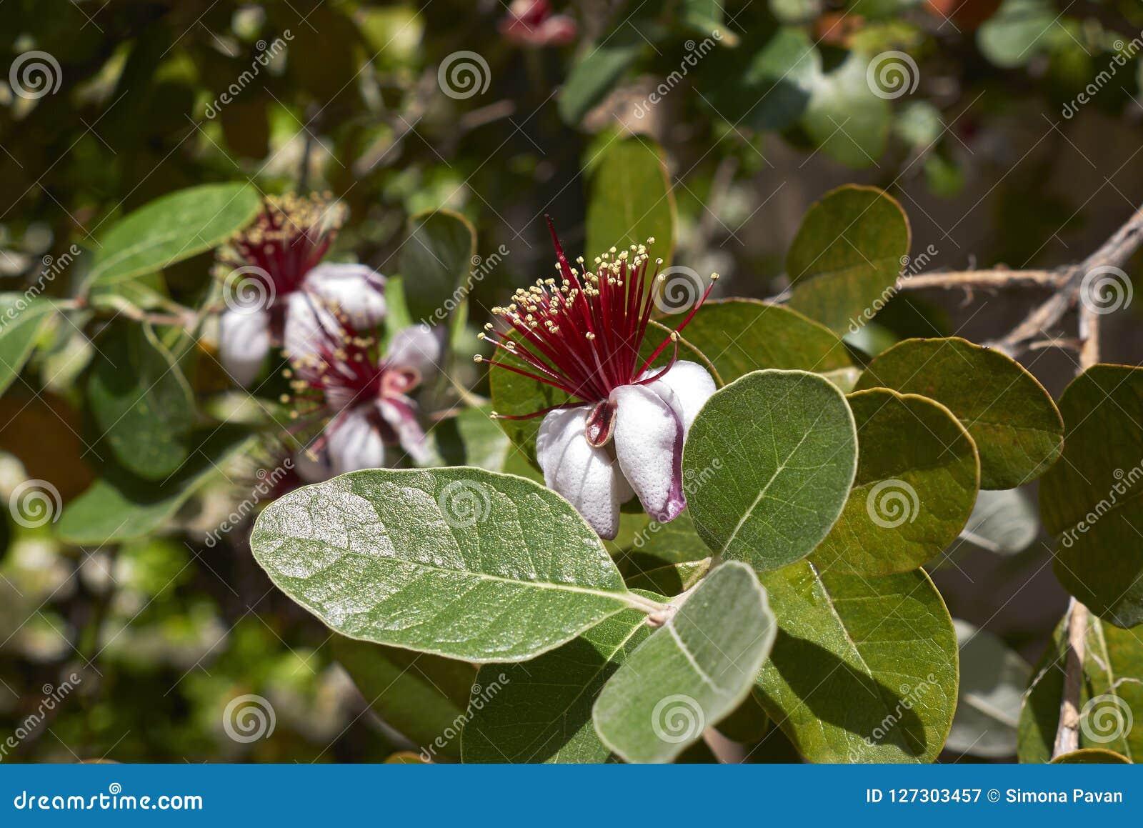 Inflorescencia Roja Del árbol Del Sellowiana De Feijoa Imagen De