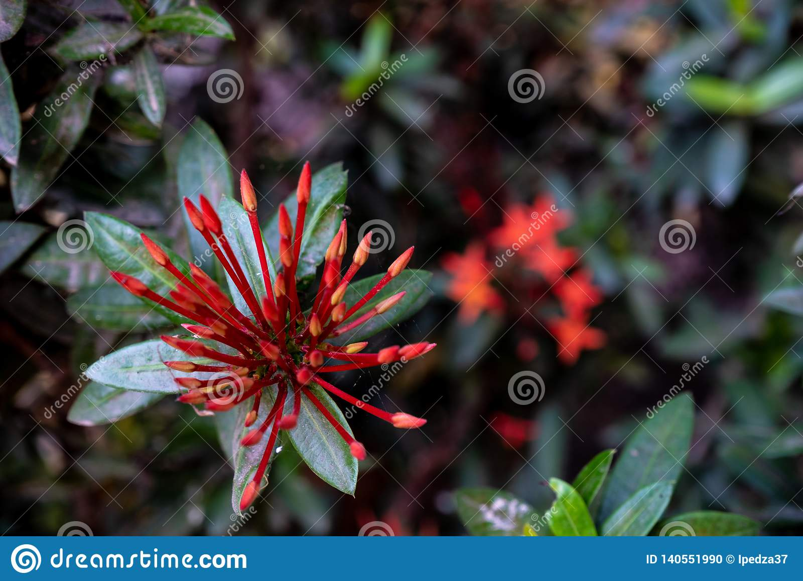 Inflorescencias rojas de la aguja en el jardín