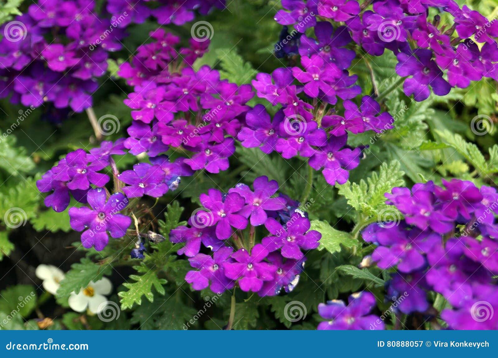 Inflorescenza con i piccoli fiori con i petali lilla