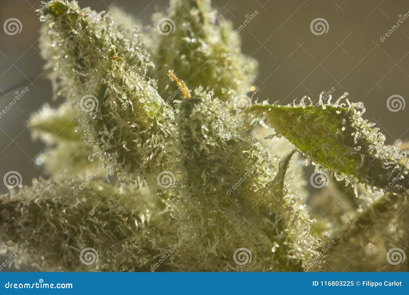 Inflorescenza di canapa con i cristalli luccicanti della resina