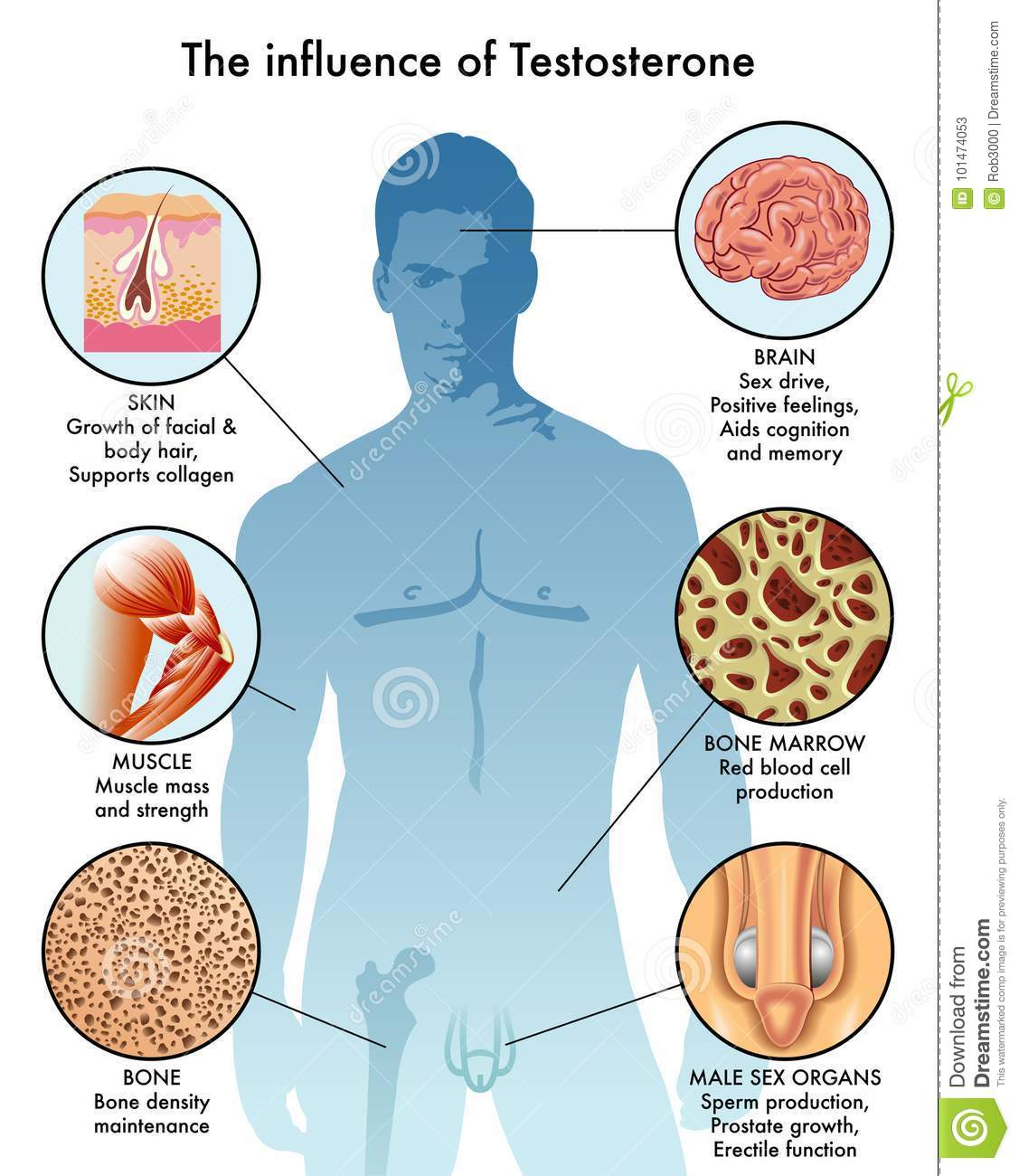 Influence Of Testosterone In The Body Stock Vector Illustration Of