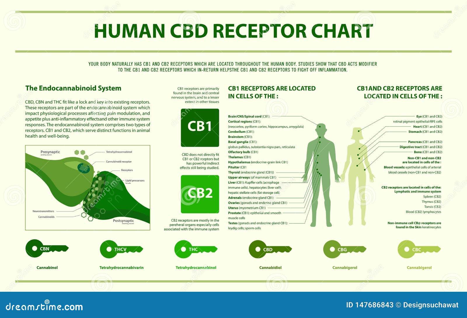 Infographic horizontal de CBD de diagramme humain de récepteur