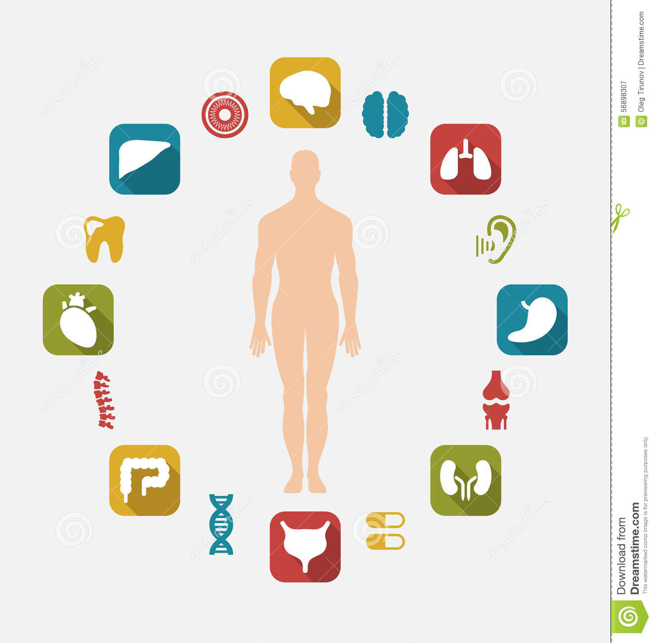 Infographic Of Internal Human Organs Stock Vector Illustration Of