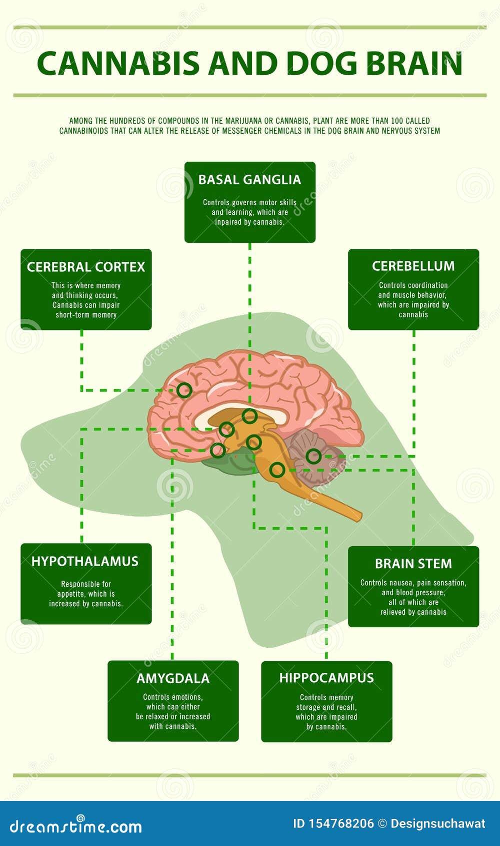 Infographic verticale del cervello del cane e della cannabis