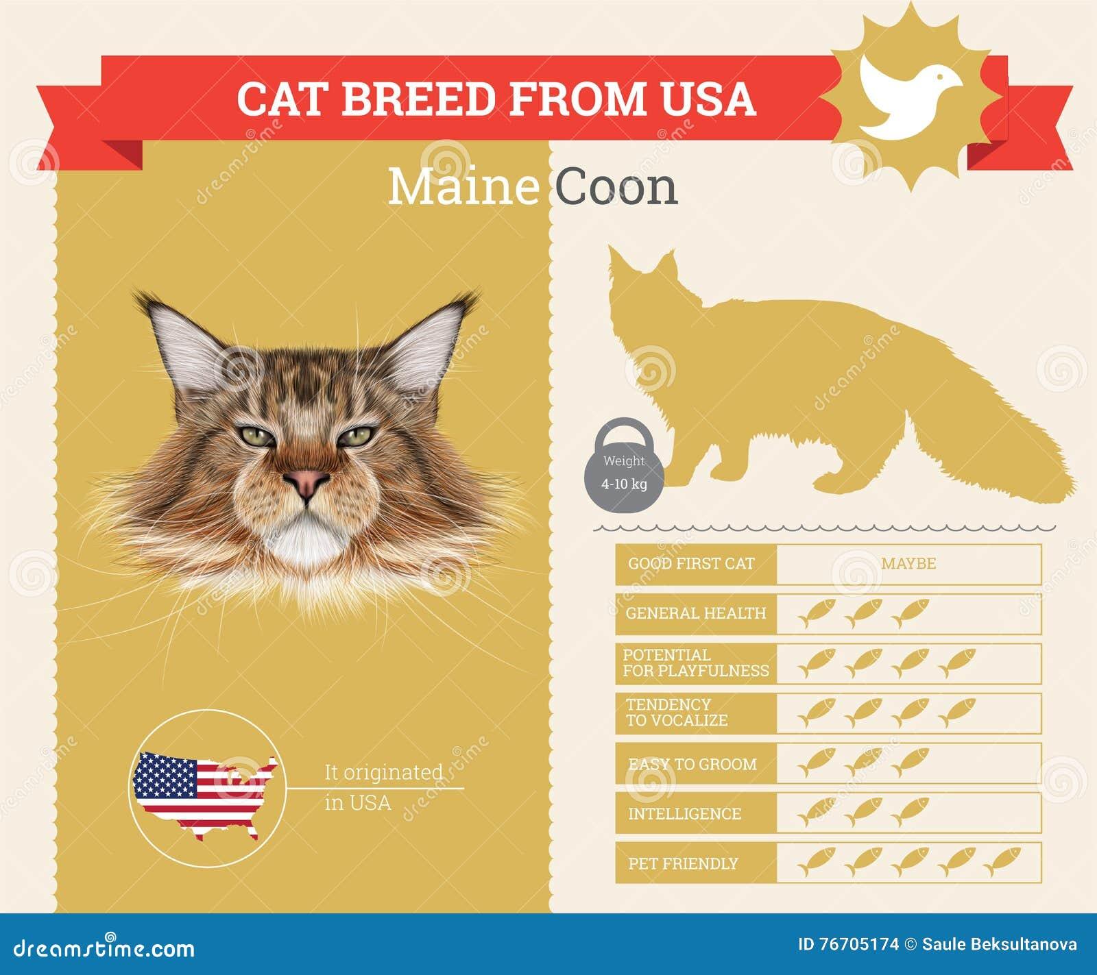 Infographics φυλής γατών του Μαίην Coon