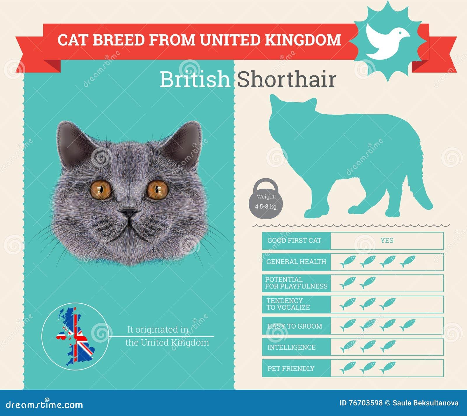 Infographics de la raza del gato de británicos Shorthair