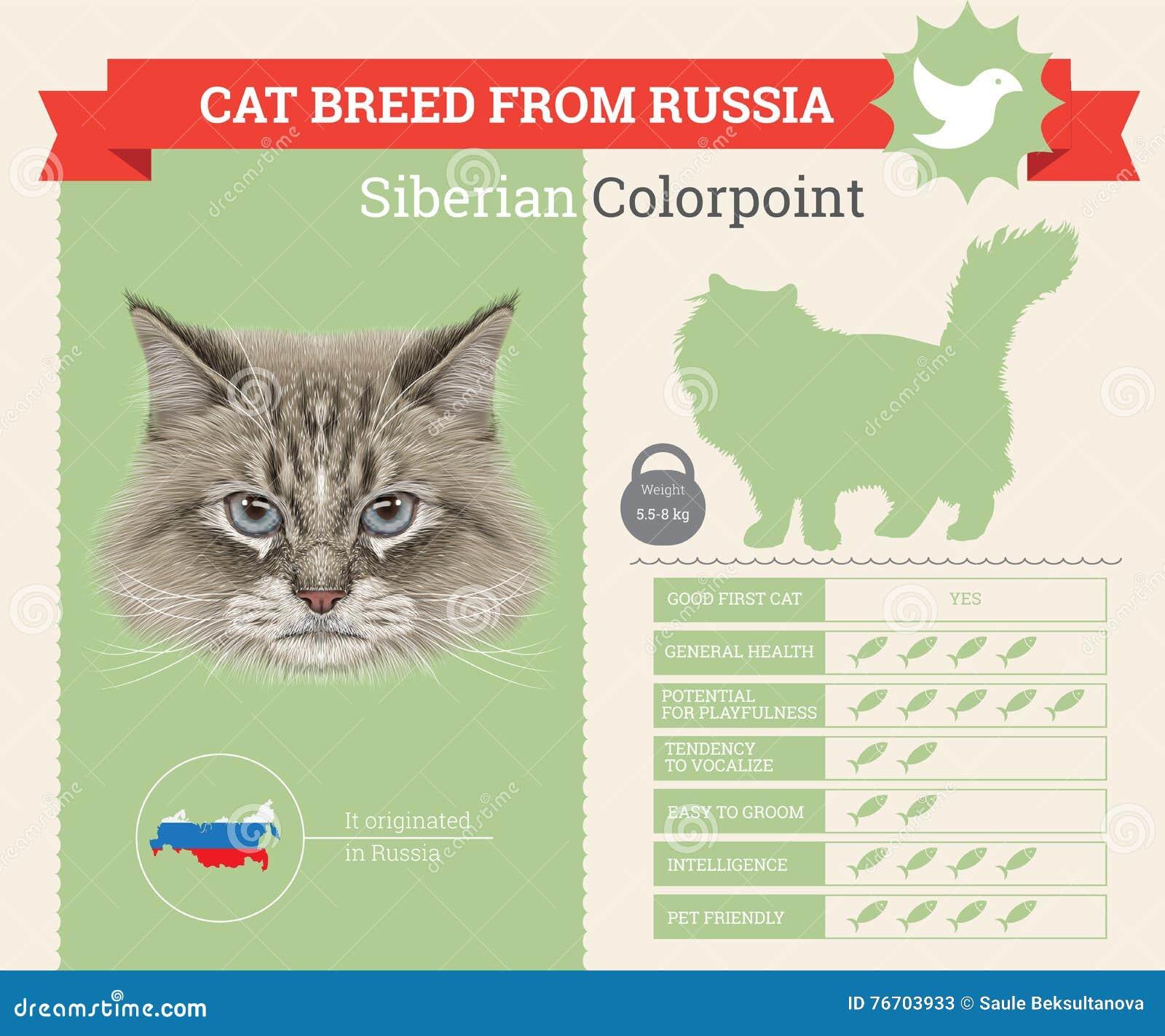 Infographics de race de chat de Colorpoint de Sibérien