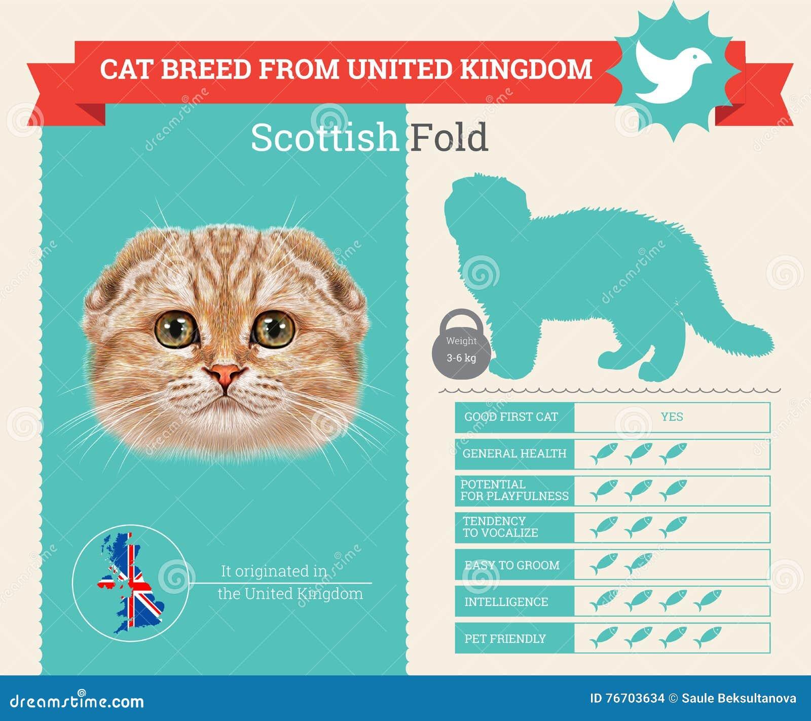 Infographics de race de chat de pli d écossais
