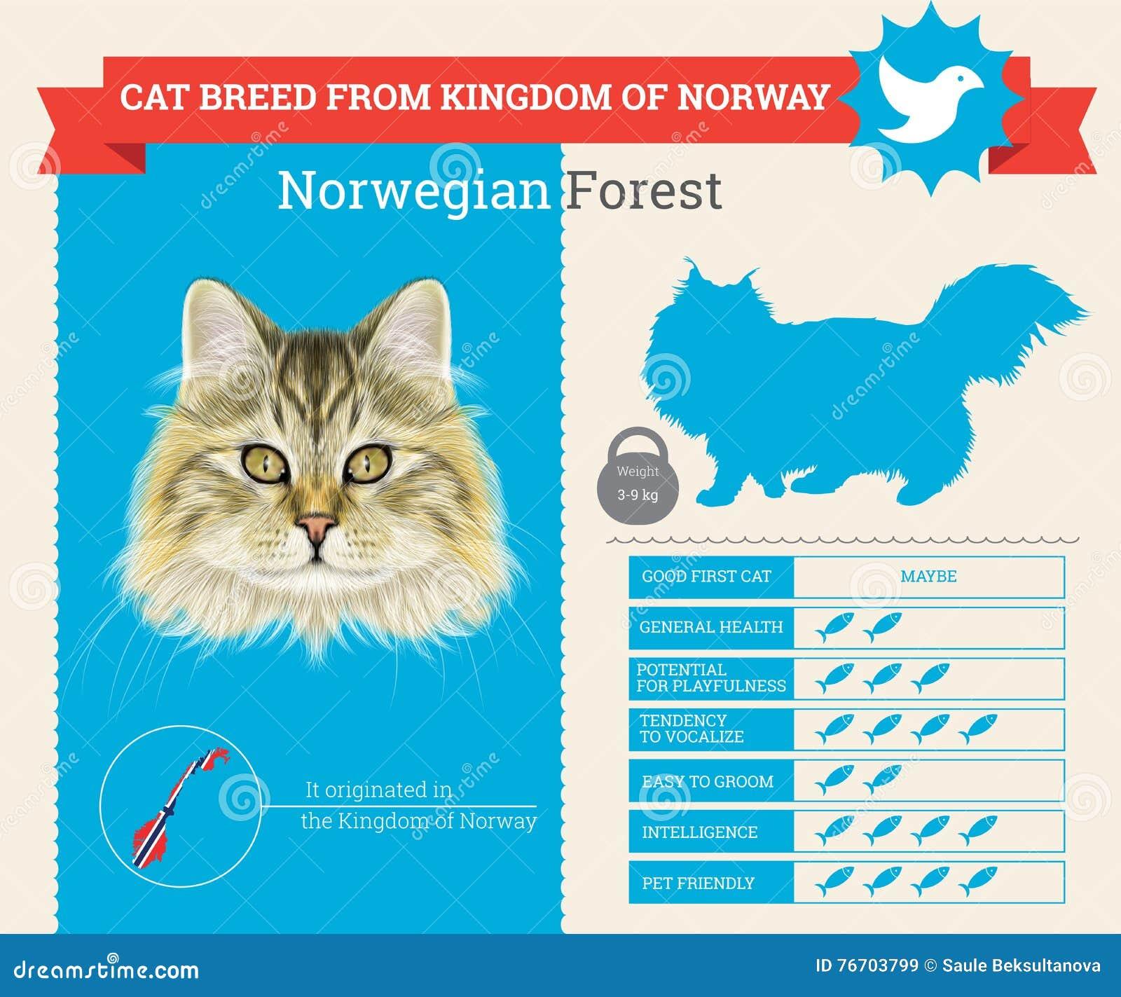 Infographics della razza di Forest Cat del norvegese