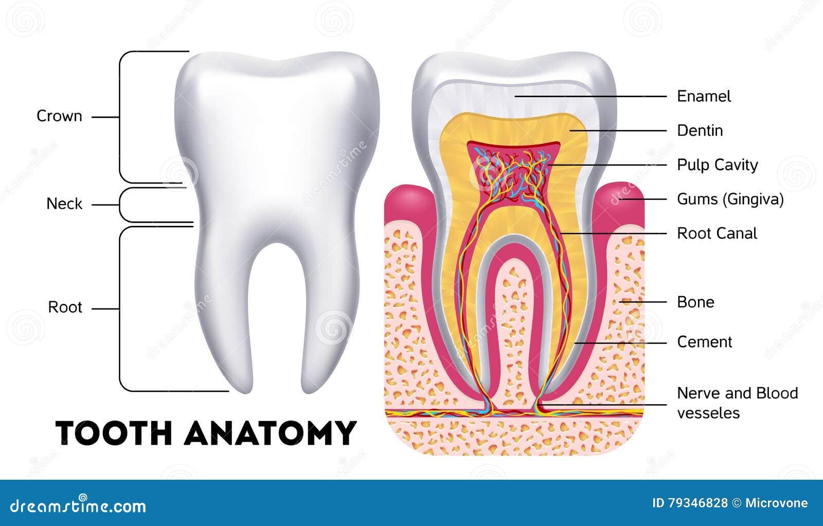 Excelente Notas De La Anatomía Dental Imágenes - Anatomía de Las ...