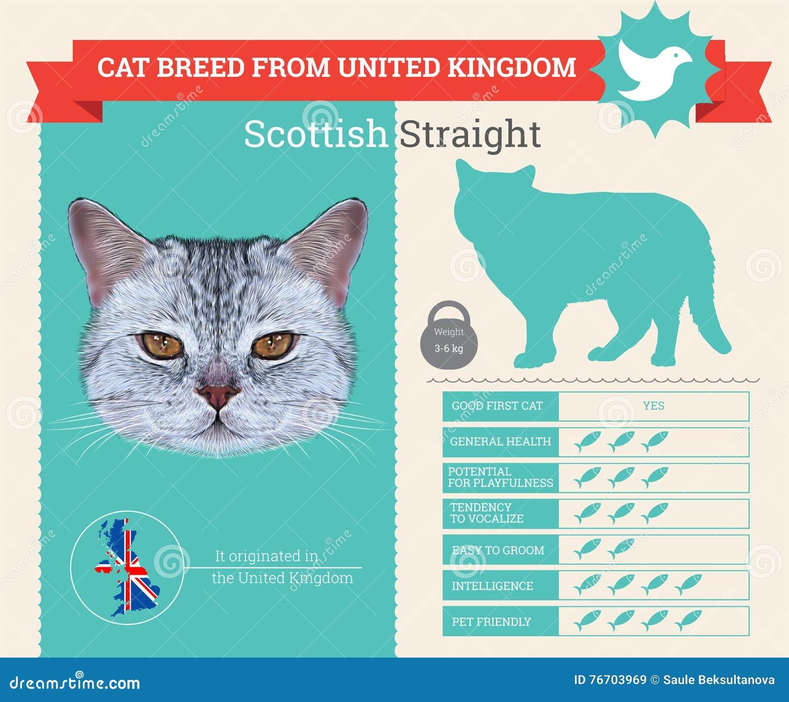 Infographics droit écossais de race de chat